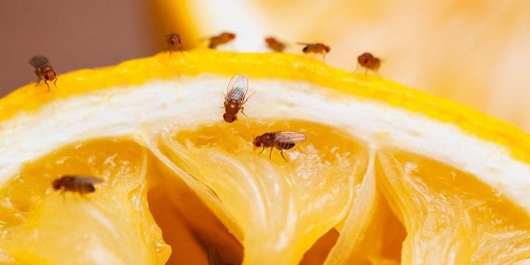 как вывести плодовых мошек