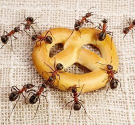 Jak pozbyć się mrówek w domu