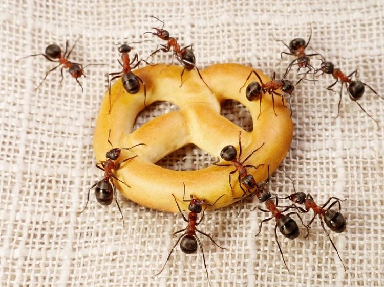 Як позбутися від мурах в будинку назавжди народними засобами