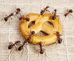Как избавиться от муравьев в доме навсегда народными средствами