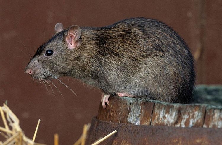 Як позбутися від пацюків в приватному будинку