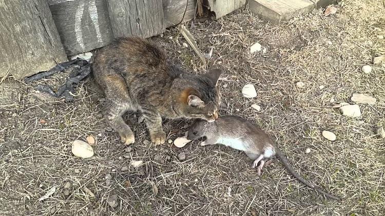 как уничтожить крыс