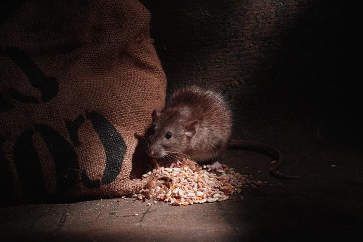 як вивести пацюків