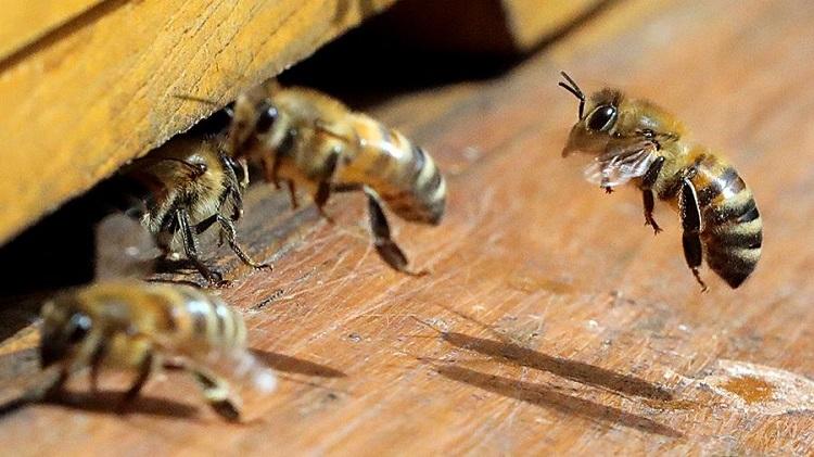 как вывести диких пчел