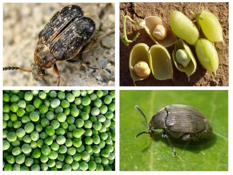как удалить жуков из крупы