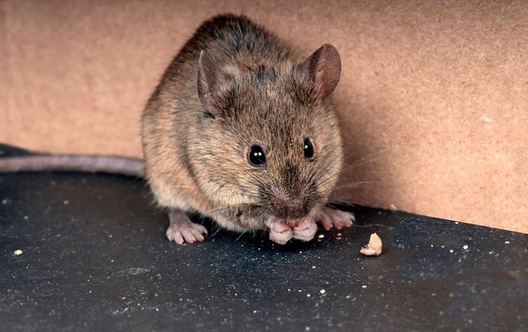Чого бояться миші