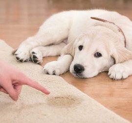 Як прибрати запах собачої сечі в квартирі