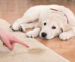 Як позбутися від запаху собачої сечі