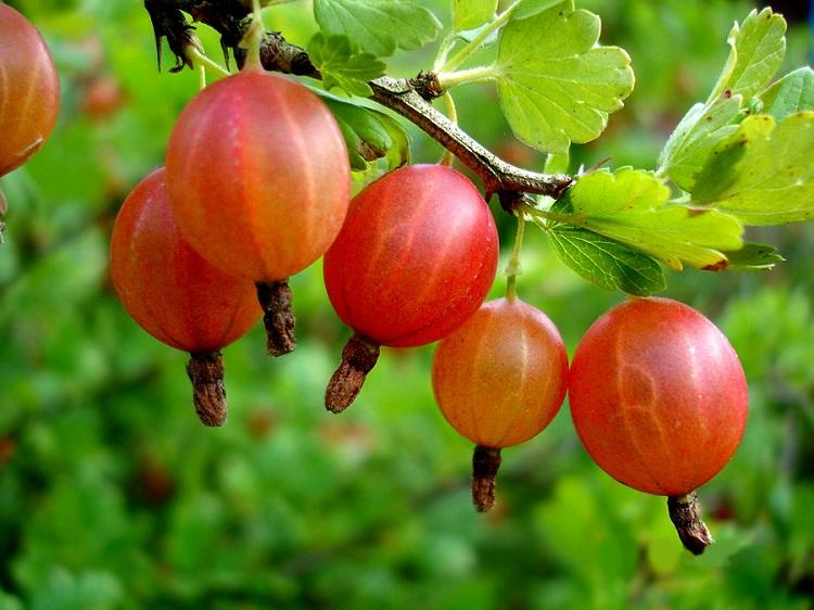 Як зберігати ягоди агрусу