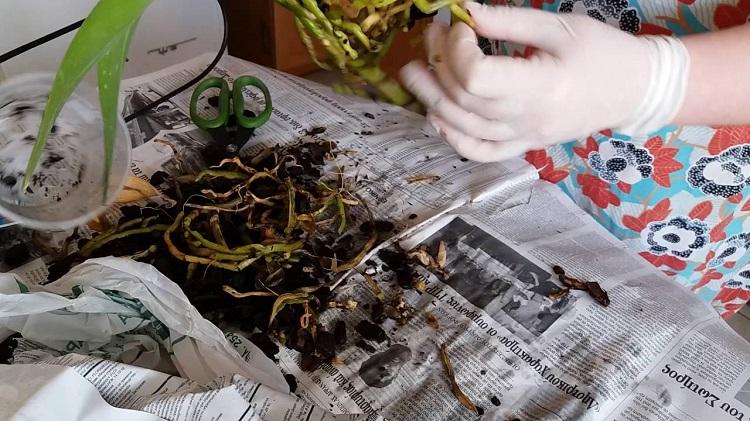 как обрезать корни орхидеи