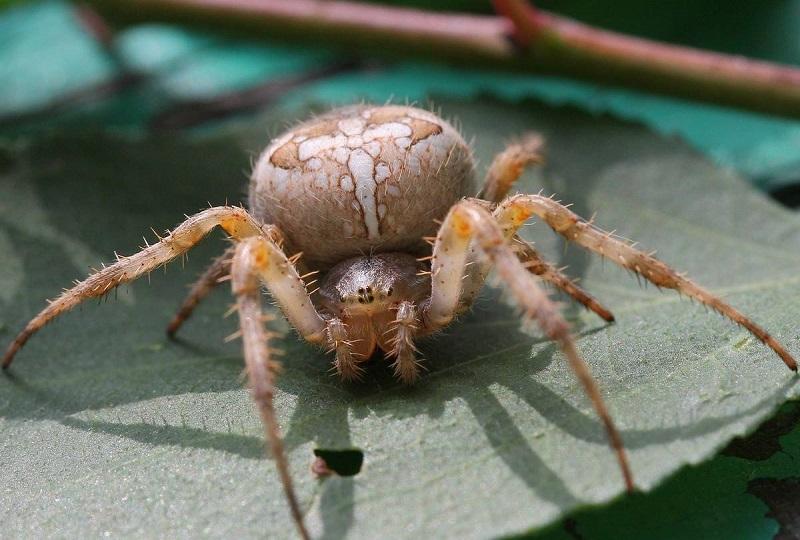 небезпека від павука хрестовика