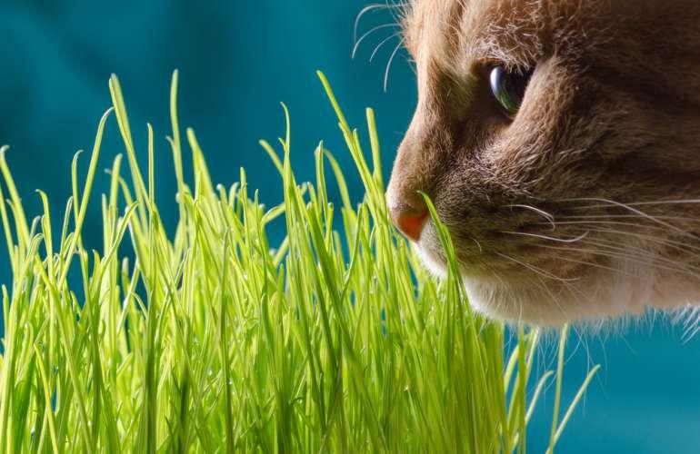 Як виростити траву для кішки в домашніх умовах