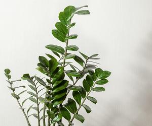 Як доглядати за доларовим деревом в домашніх умовах